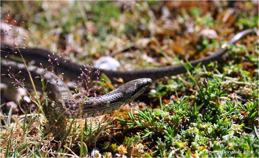 Coronella-austriaca-culebra-lisa-europea-gredos