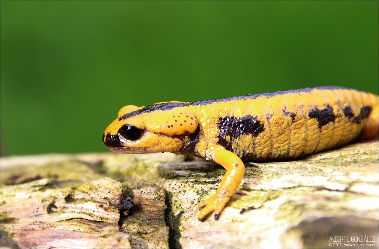 Salamandra s. bernardezi (Oviedo)
