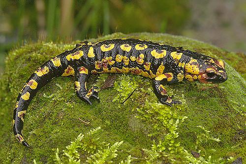 Salamandra salamandra gallaica by henk wallays