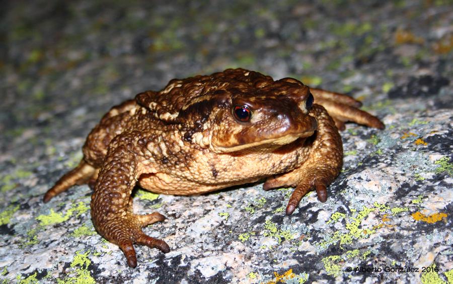 bufo-spinosus-gredosicola-2016