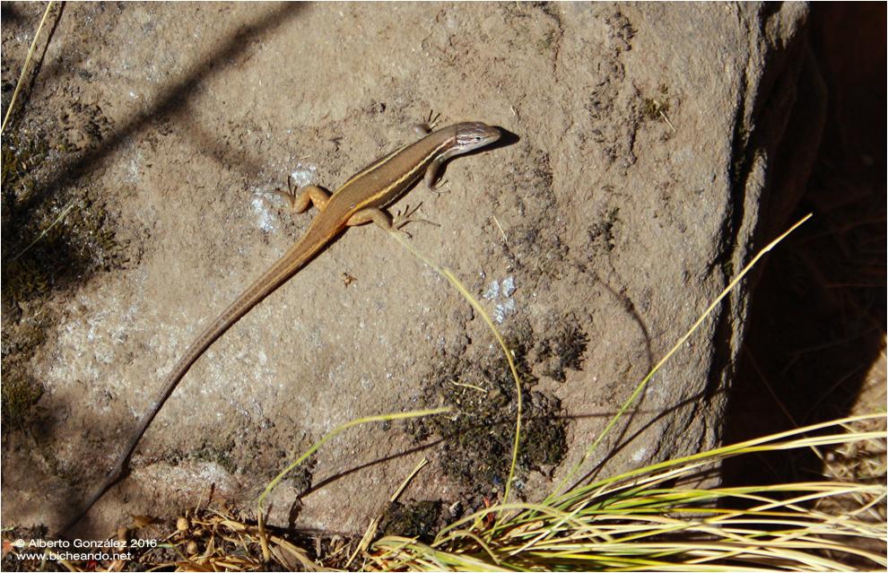 lagartija colilarga (Psammodromus algirus)