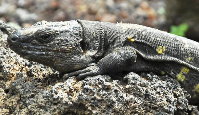 lagarto gigante hierro