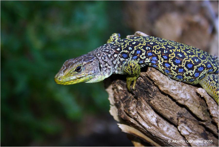 lagarto-ocelado-timon-lepidus-oteando