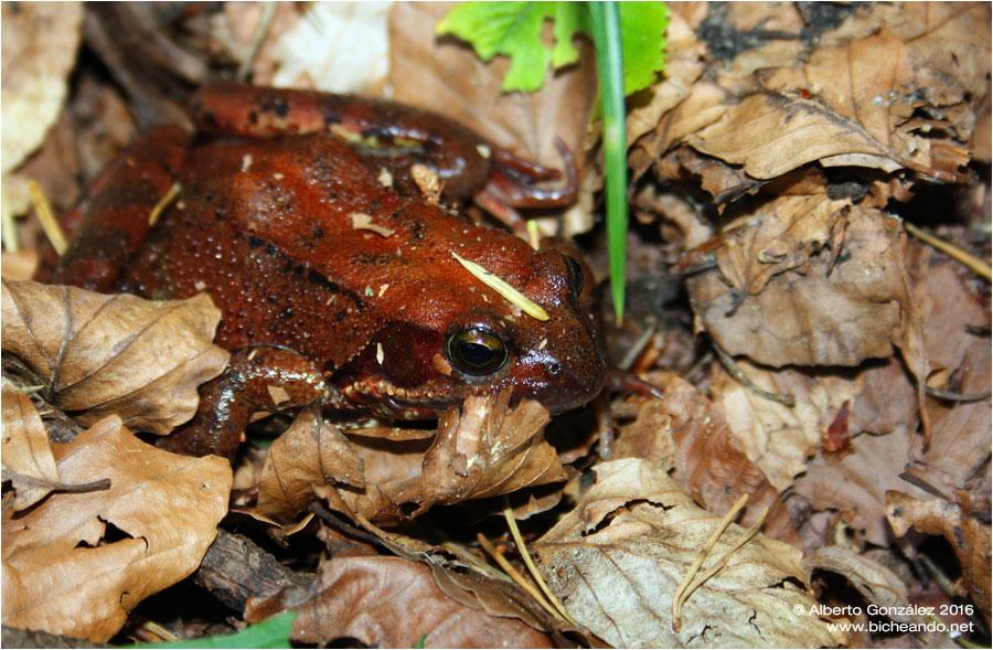 Rana bermeja (Rana temporaria) en la Selva de Oza