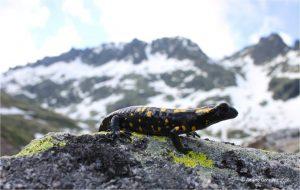 salamandra gredos almazoris bicheando