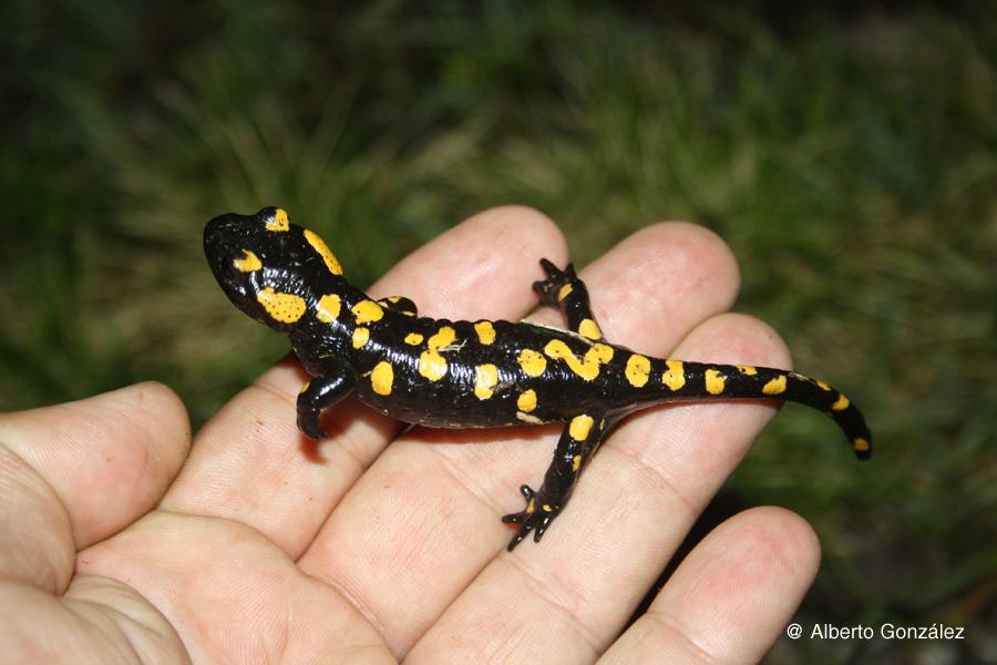 salamandra-s-almanzoris-bicheando