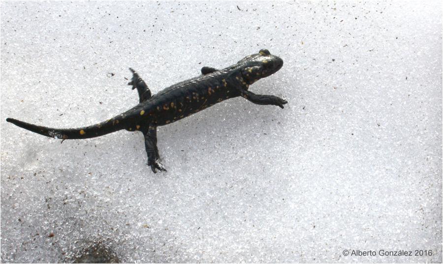 Salamandra s. almanzoris en Gredos. Créditos: Alberto González