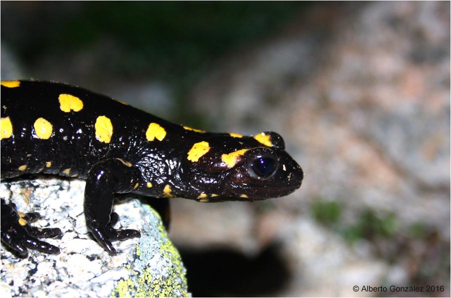 salamandra-s.-almanzoris-(Gredos)-2016-09