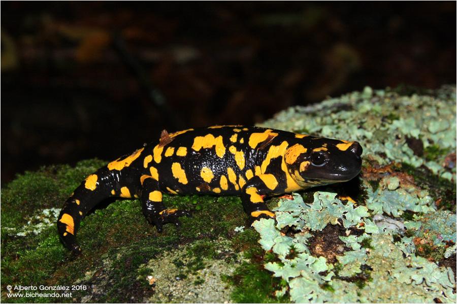 Salamandra s. bejarae (Sur de Castilla León)