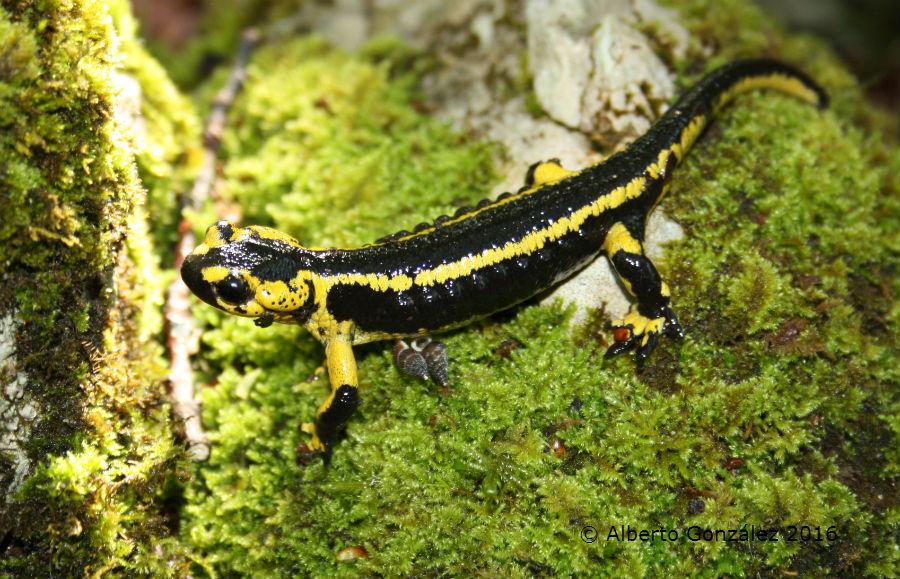 salamandras bernardezi