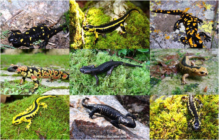 salamandras-comparativa-norte-oeste-españa