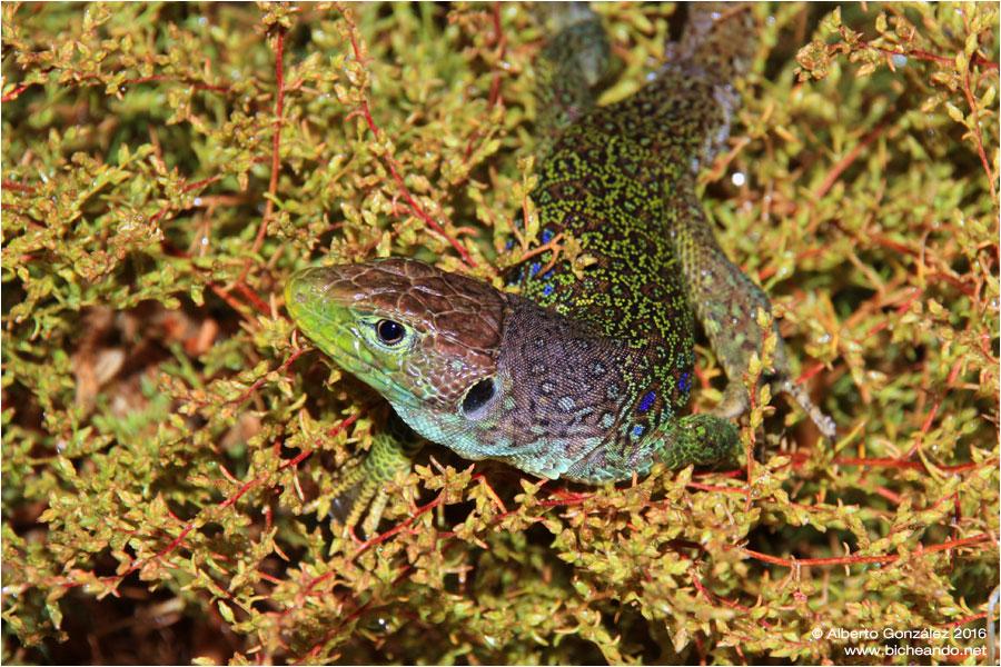 timon-lepidus-lagarto-ocelado-la-cabrera-herpetologia-madrid