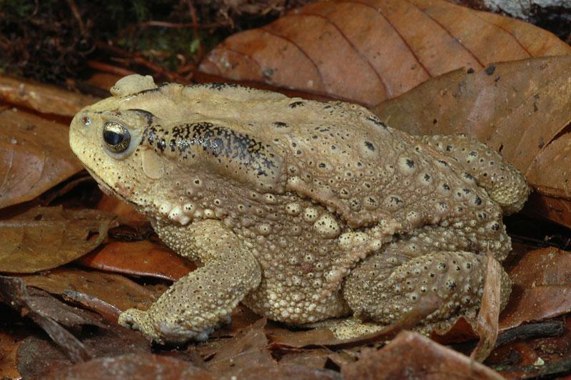 Duttaphrynus-melanostictus