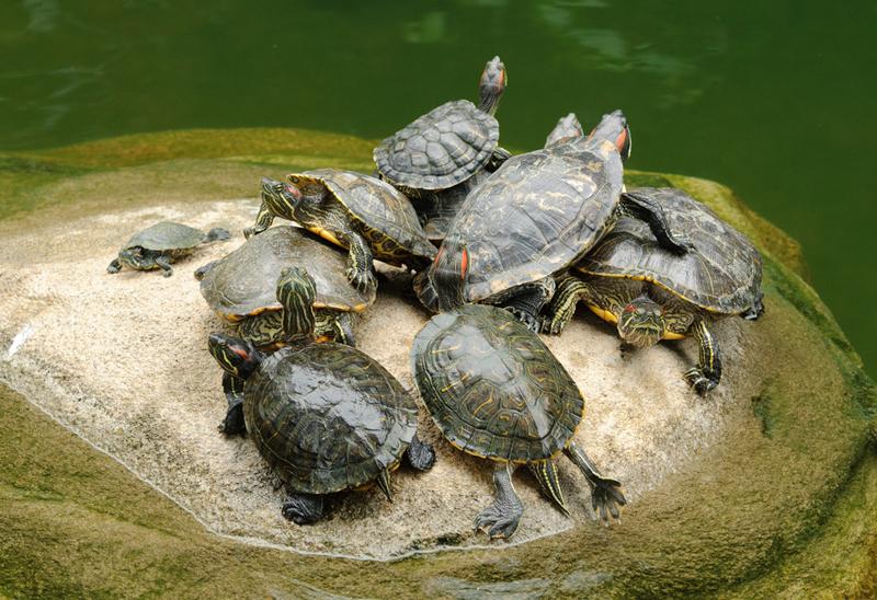 Especies invasoras de anfibios y reptiles