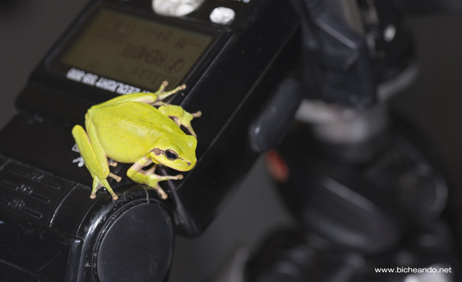 asepsia-anfibios-fotografia-naturaleza-portada-bicheando
