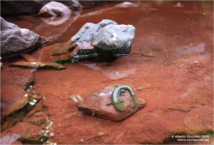 calotriton-asper-aguas-torcidas-01