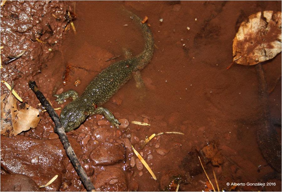 Salamandras y tritones de Jacetania