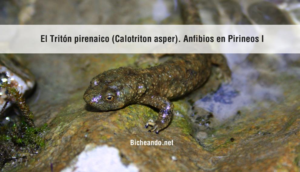 calotriton-asper-triton-pirenaico-portada-bicheando-anfibios-pirineos