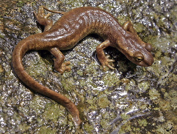 hylawerkgroep-be Corsican Brook Newt - Euproctus montanus