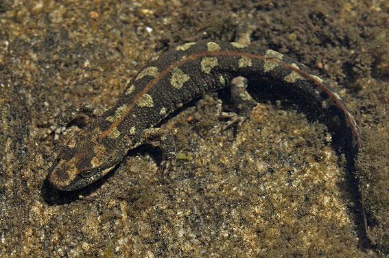 Créditos: www.hylawerkgroep.be-Sardinian Brook Newt - Euproctus platycephalus
