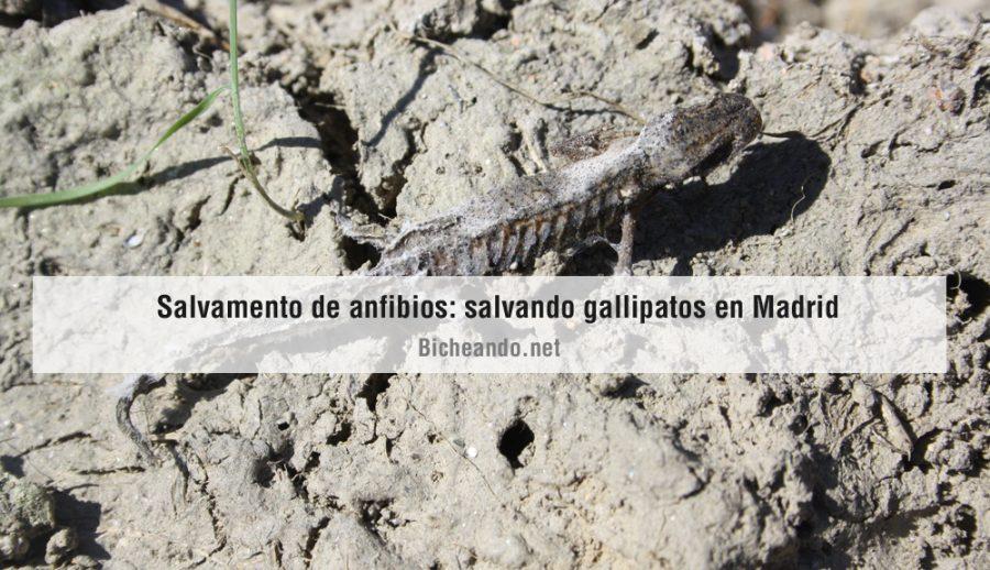 imagen-portada-art-gallipatos-salvamento-de-anfibios