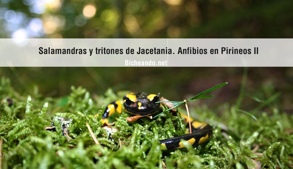 imagen-portada-art-salamandras-en-jacetania