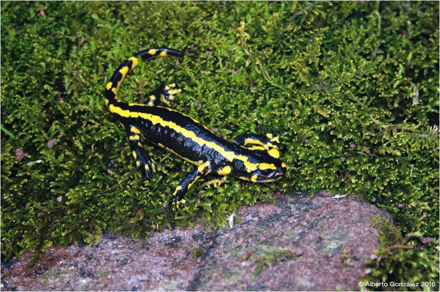 salamandra-fastuosa-anayet