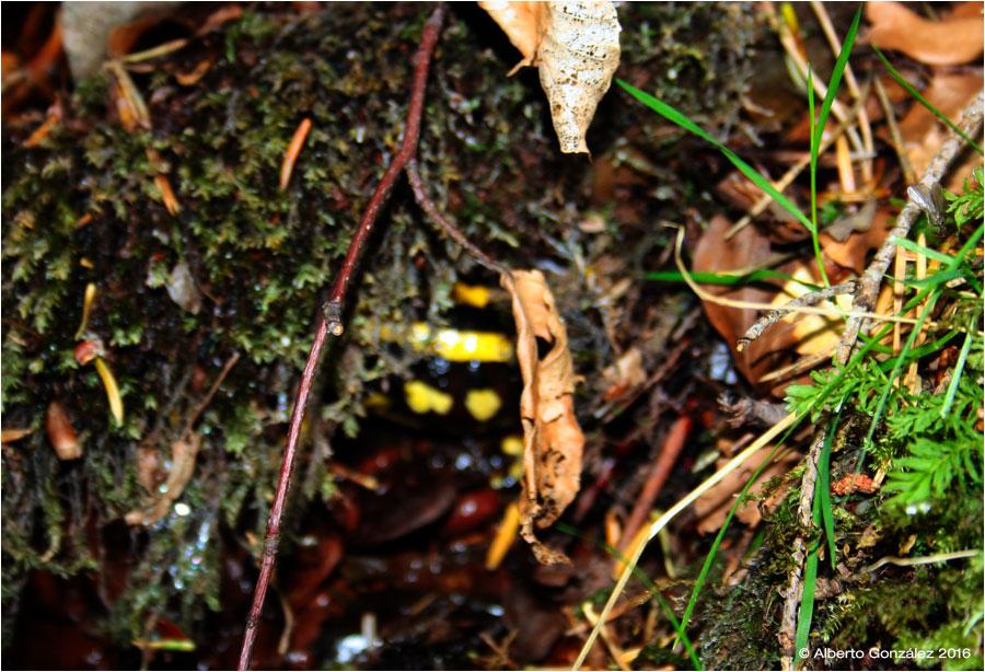 salamandra-fastuosa-escondida-entre-la-maleza...
