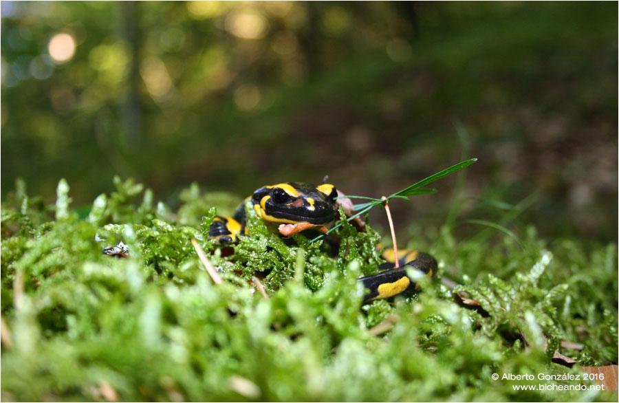 salamandra-fastuosa-selva-de-oza-01