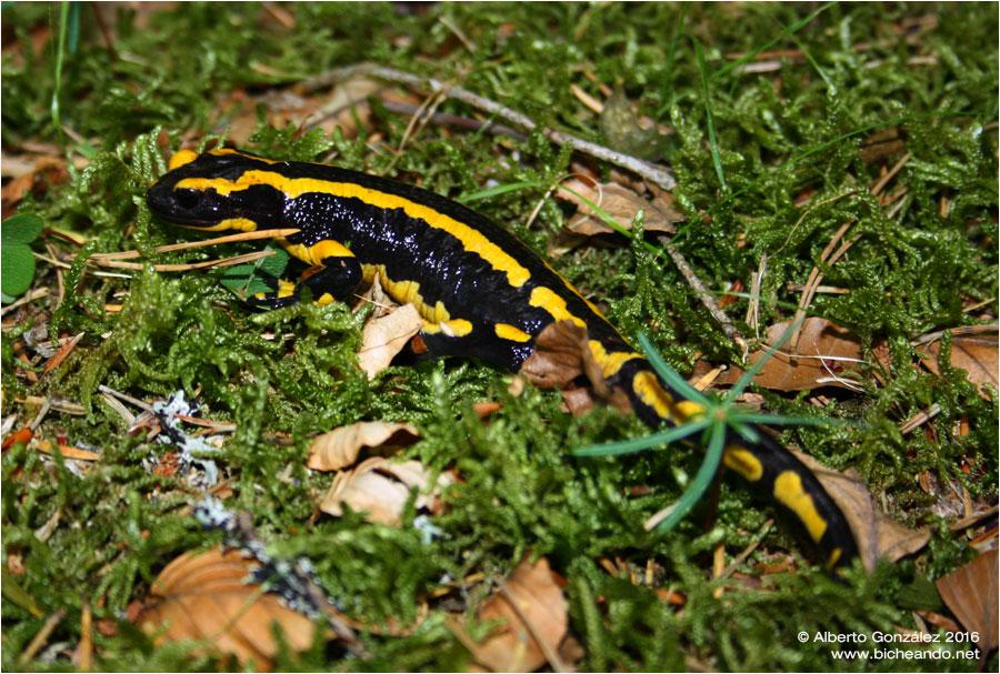salamandra-fastuosa-selva-de-oza-03