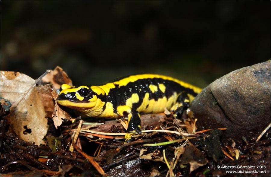 salamandra-fastuosa-selva-de-oza-04