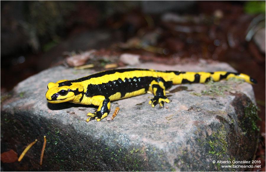 salamandra-fastuosa-selva-de-oza-05