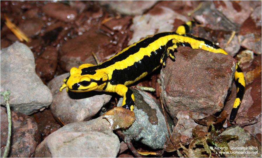 salamandra fastuosa