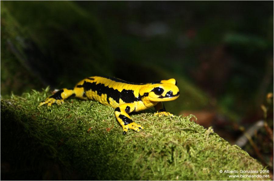 salamandra-fastuosa-selva-de-oza-08