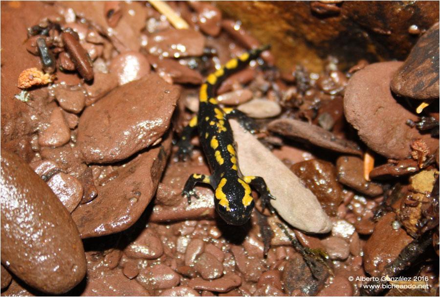 Salamandras y tritones de Jacetania fastuosa juvenil
