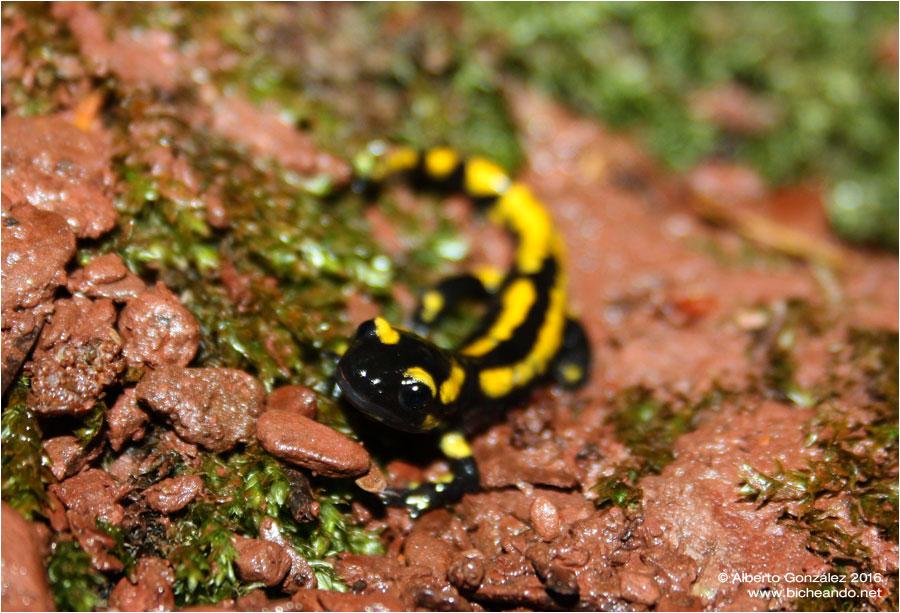 salamandra-fastuosa-selva-de-oza-juvenil-02