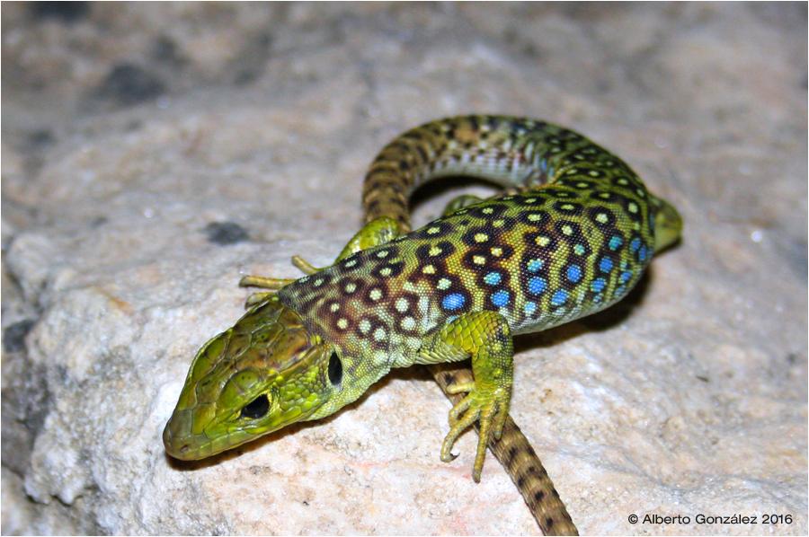 timon-lepidus-agrato-ocelado-juvenil-2016-alto-tajo