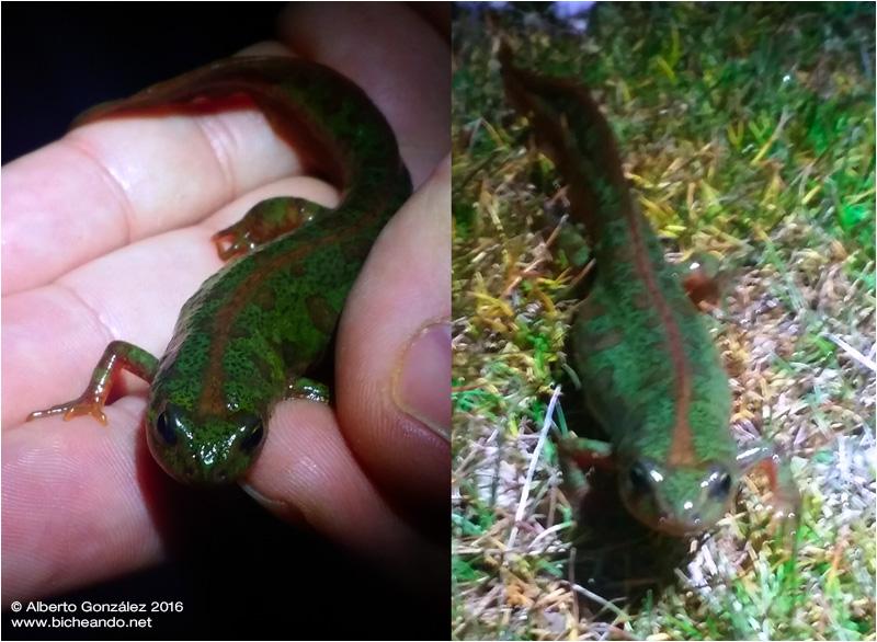 triton-pigmeo-triturus-pymaeus-bicheando-herpetologia-02