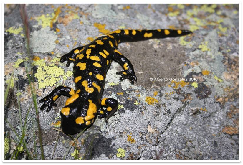 salamandra común sierra de guadarrama
