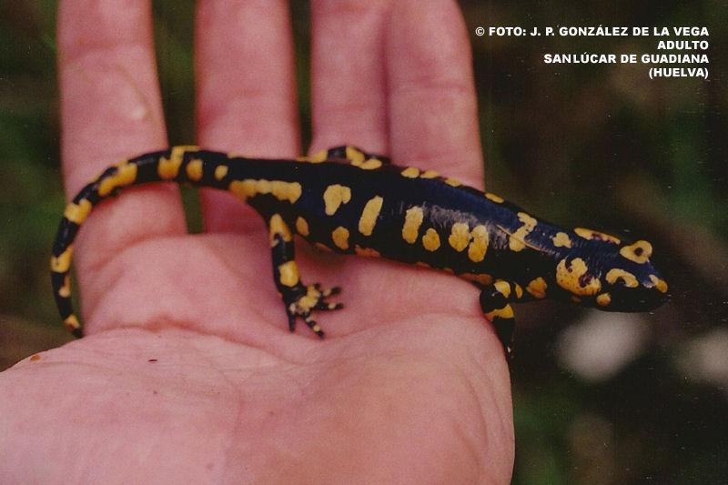 salamandra crespoi