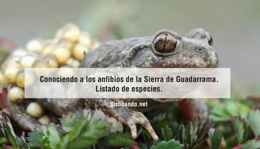 especies-de-anfibios-de-la-sierra-de-guadarrama-2016