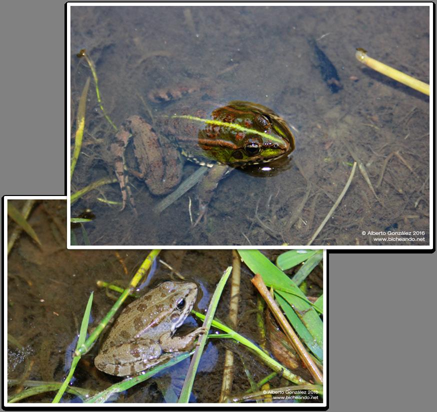 rana-comun-marron-verde