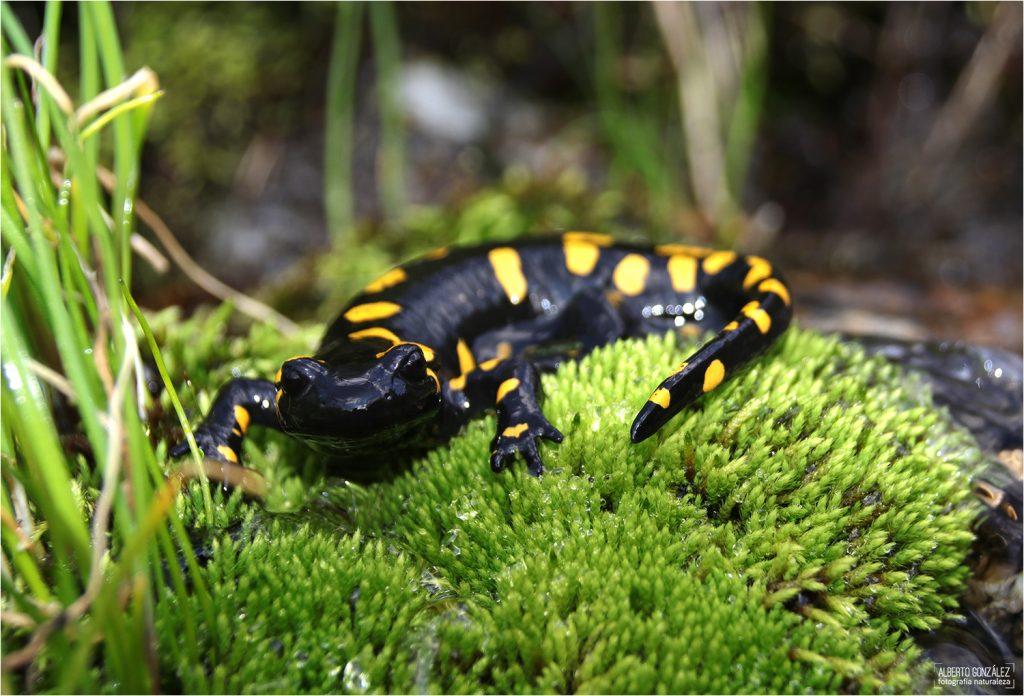 "Salamandra común, subespecie ""Almanzaris"" (Salamandra salamandra almanzoris)"