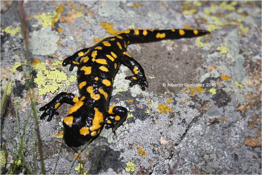 salamandra bejarae guadarrama