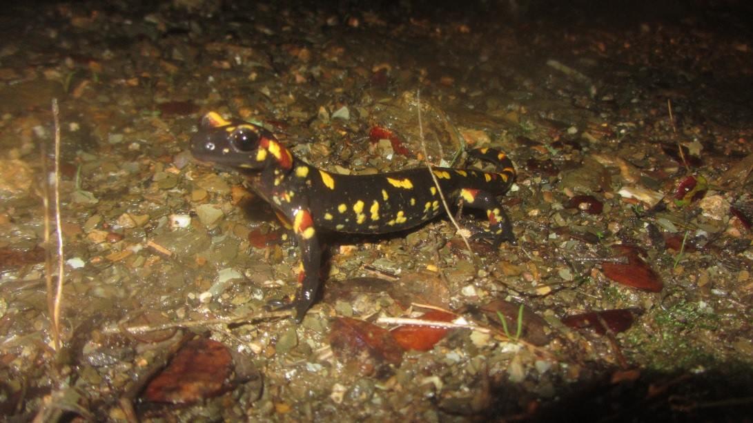 salamandra s morenica 02