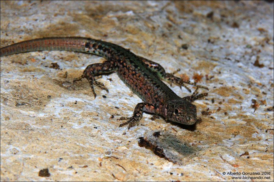 Lagartija noroccidental (Podarcis guadarramae) antes conocida como ibérica (Podarcis hispánica)