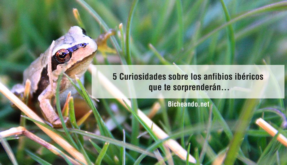 curiosidades-sobre-los-anfibios-ibericos