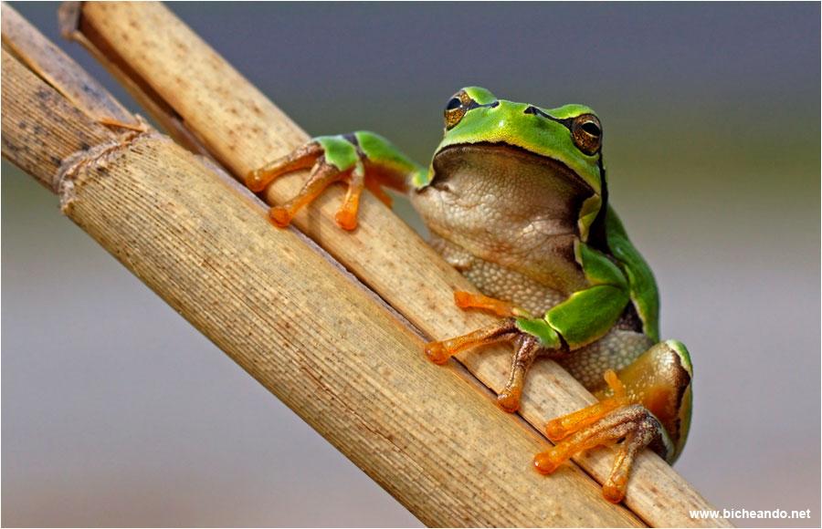 curiosidades sobre los anfibios hyla-molleri-ranita-de-san-antonio