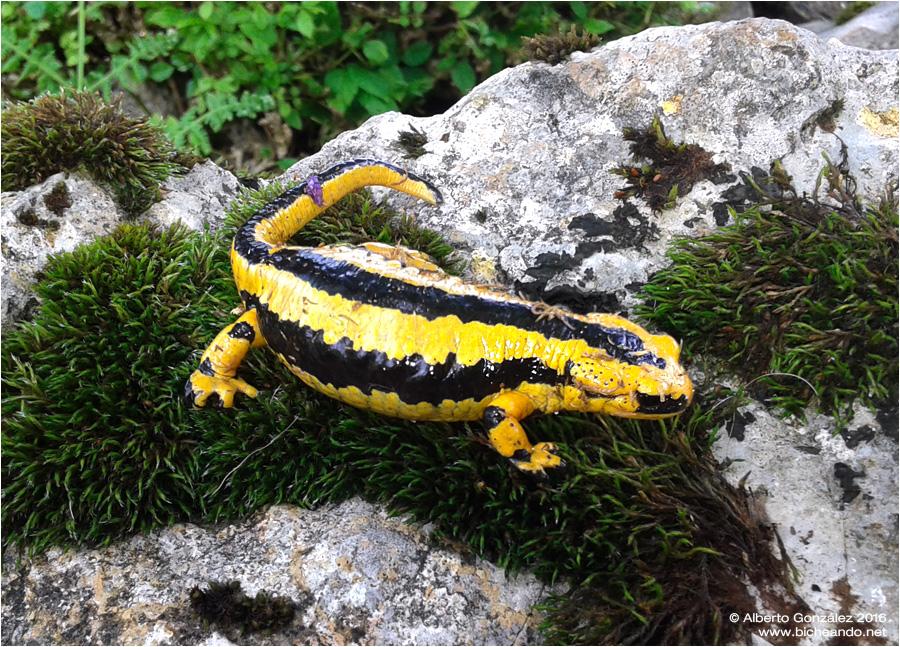 Salamandra común vivípara embarazada de la Sierra de Cuera (Asturias)