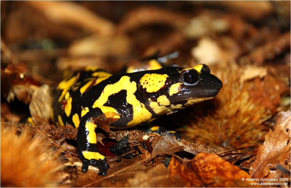 Salamandra común (Salamandra s. bejarae) Embalse del Burguillo Castilla León